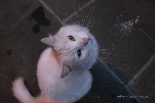 vitorchiano_gatto_bianco_occhi_verdi