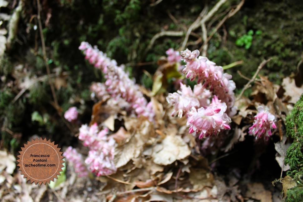 Valle_Oscura_Soriano_nel_Cimino_bosco_orchidea