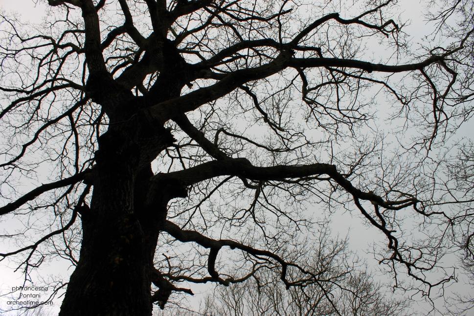 Rofalco-albero-mastoso-archeotime